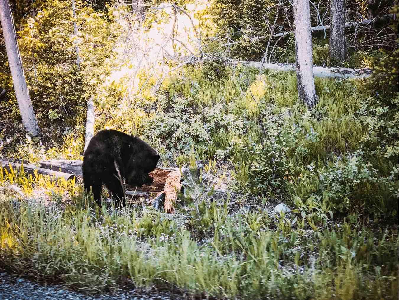 bear grand teton